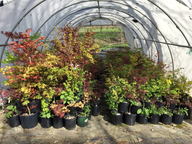 Japanese maples in the hoop house