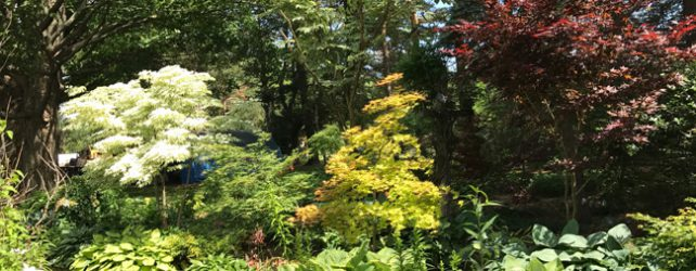 When to buy Japanese Maples