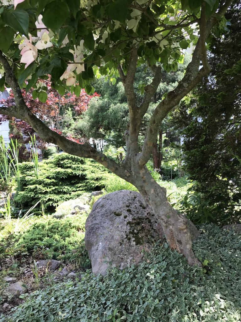 Rock beneath an old Japanese maple