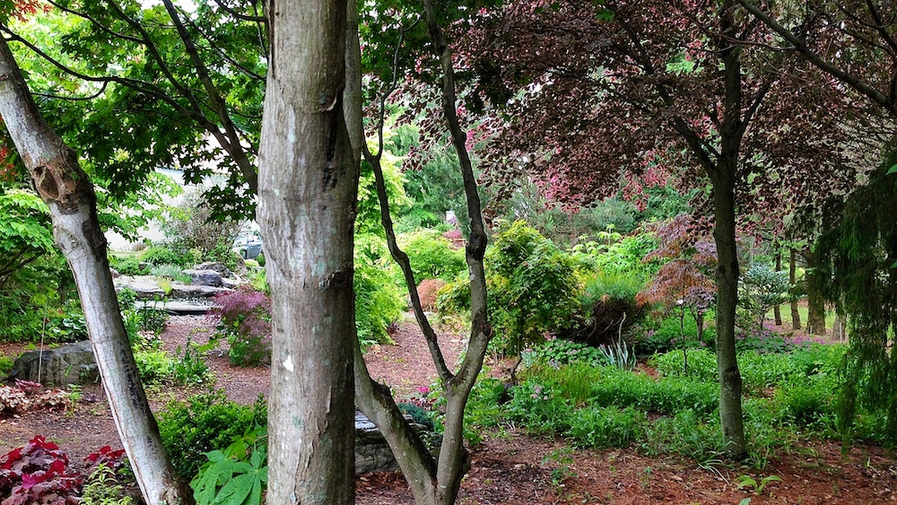 Japanese maples at Topiary Gardens