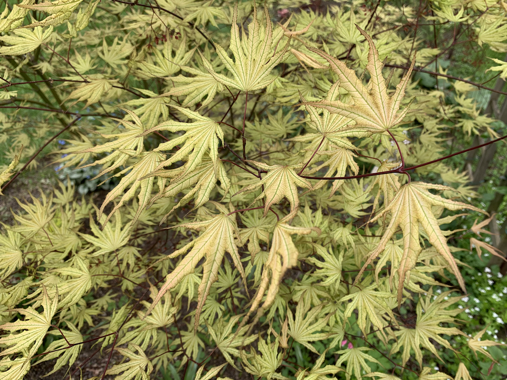 acer palmatum sawa chidori leaves in june