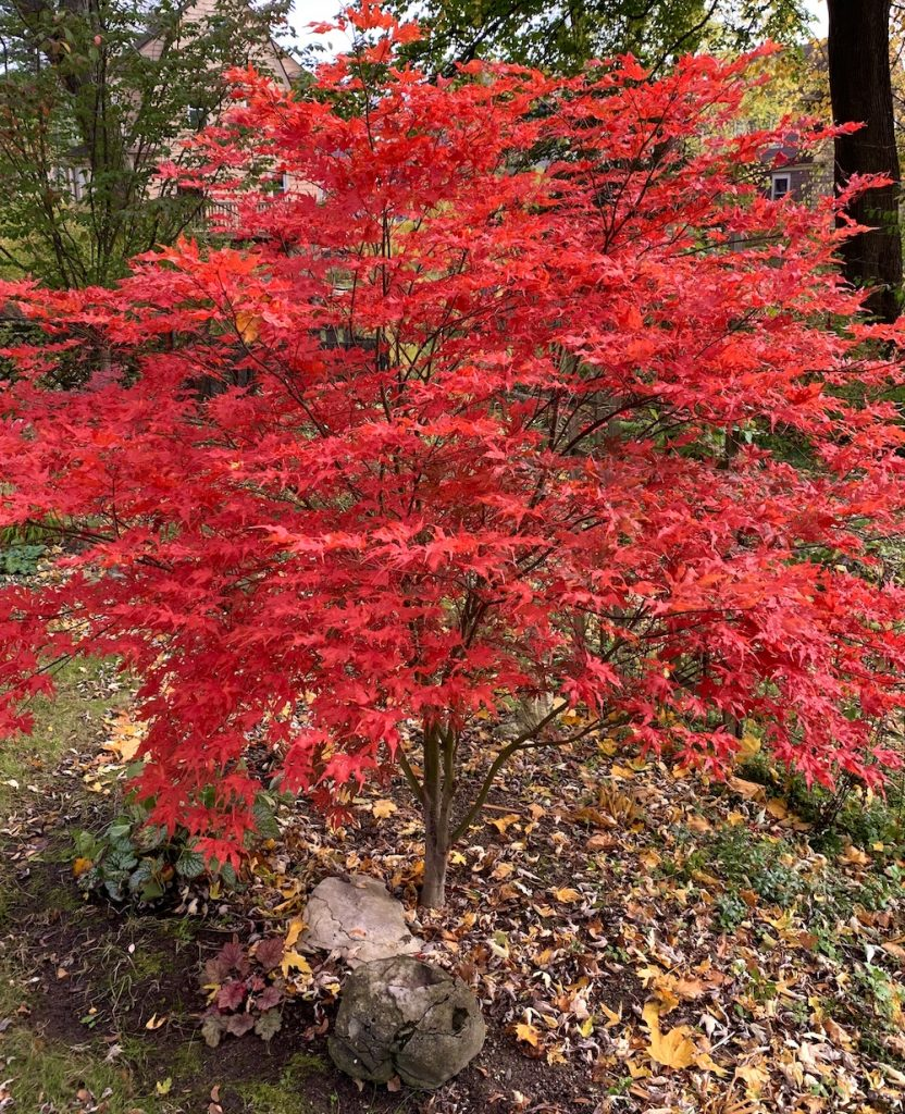 red fall leaves and habit of Sawa Chidori maple