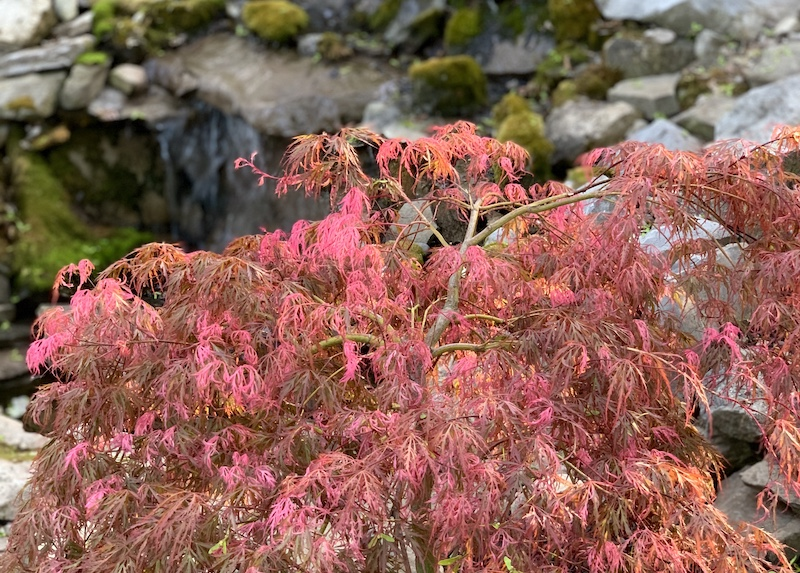 hana matoi japanese maple spring color