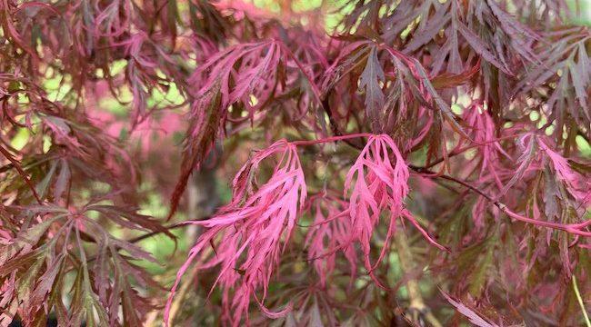 Hana Matoi Japanese Maple –  Variegated Acer Palmatum Dissectum