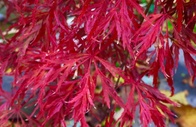 hana matoi japanese maple fall color