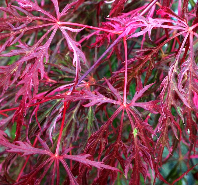pink and red leaves on hana matoi japanese maple