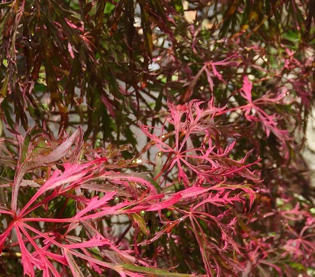 acer palmatum hana matoi leaves with some shade