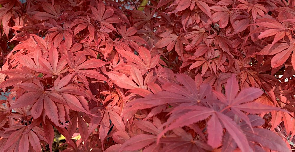 Royale Japanese maple leaves in full sun