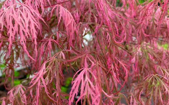 hana matoi pink japanese maple leaves in the sun