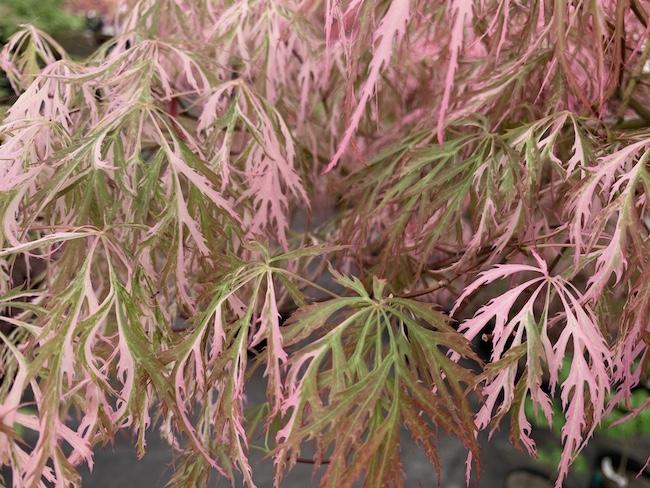 hana matoi maple leaves in the shade