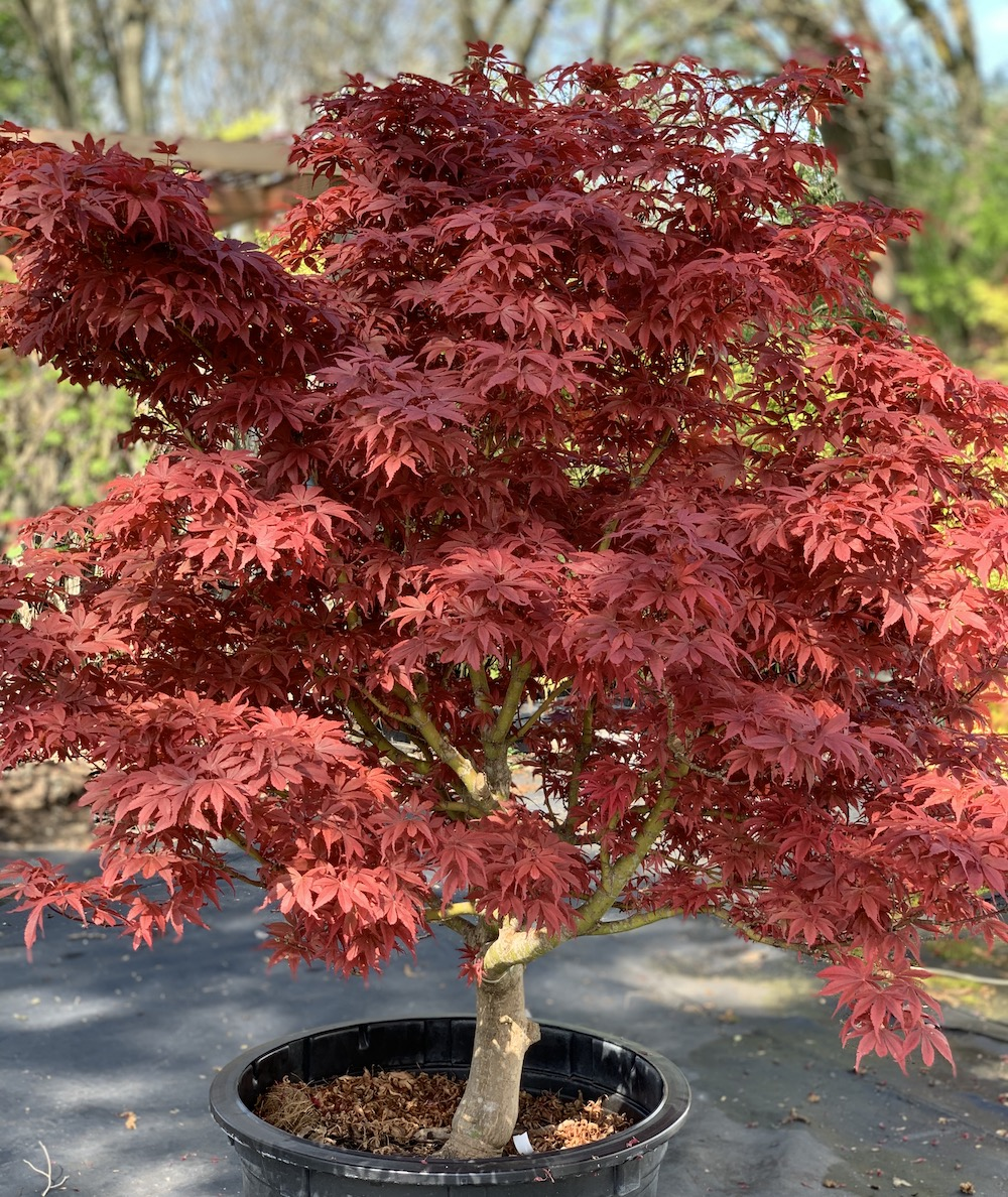 Royale Japanese maple habit