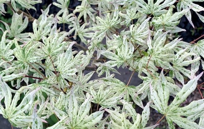 white japanese maple ukigumo leaves