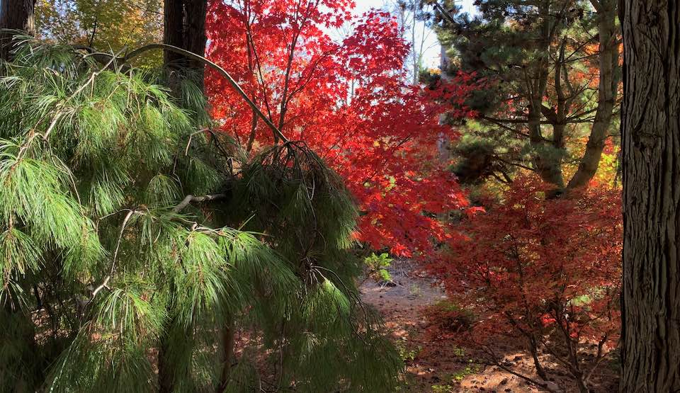 japanese maples and pines at Topiary Gardens