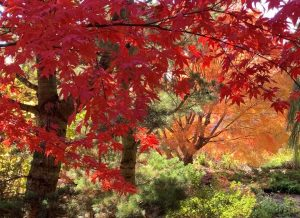 A Fall Walk in the Maple Garden