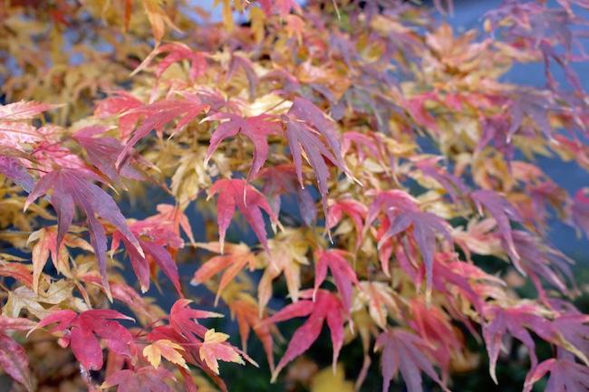fall maple leaf color 2