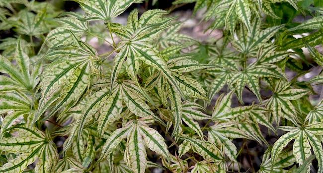 ikandi japanese maple summer leaves