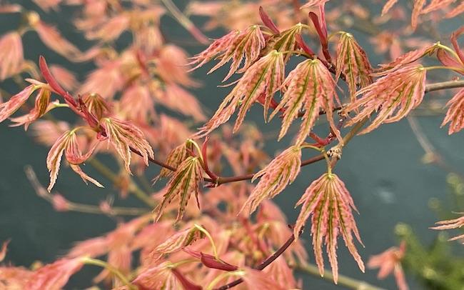japanese maple ikandi spring foliage 3