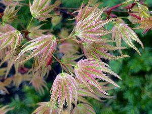 Acer Palmatum Ikandi Japanese Maple