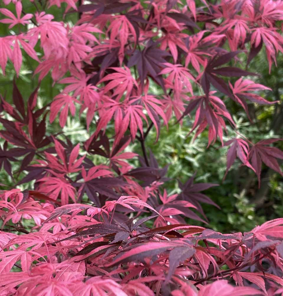 growth habit of rainbow japanese maple