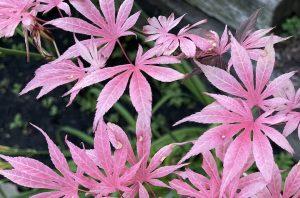 Acer Palmatum 'Rainbow' Japanese Maple