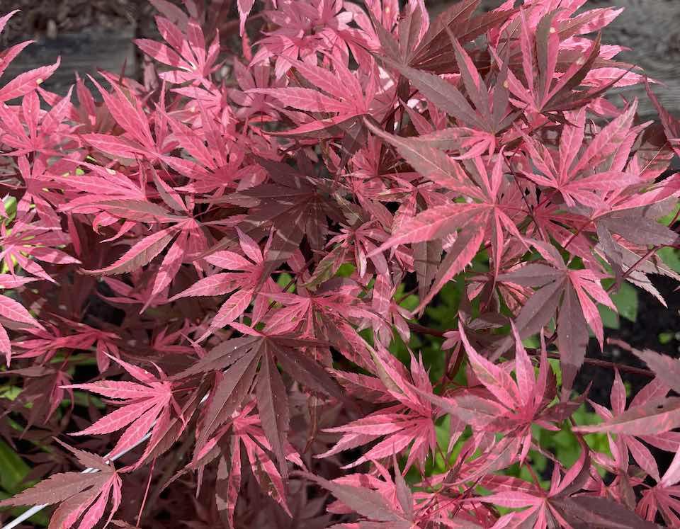 acer palmatum rainbow maple leaves in spring